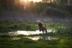 Redhead Spaniel dog running with a stick Royalty Free Stock Image