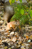 Redhead squirrel with a bushy tail on the fallen leaves in the f Stock Photos