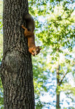 Redhead squirrel is sitting head down on a tree eat a nut holdin Stock Images