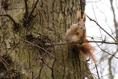 Redhead squirrel on a tree branch looking at the camera Royalty Free Stock Photo