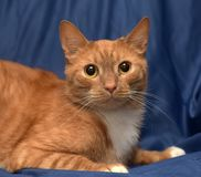 redhead with white cat on blue royalty free stock image