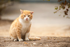 Redhead wild cat Royalty Free Stock Image