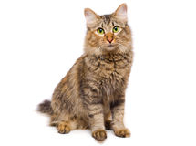 Redheaded cat. On white background looking  at you Royalty Free Stock Image