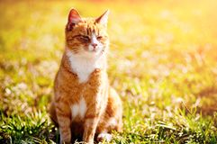 Redheaded cat on green grass Stock Image