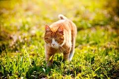 Redheaded cat on green grass Stock Photo