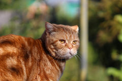 Redheaded cat sitting on a tree stump Royalty Free Stock Photo