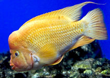 Redheaded Cichlid 1 Stock Image