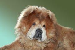Redheaded dog royalty free stock photo