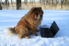 Redheaded dog and  laptop Stock Photos