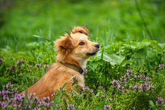 The redheaded homeless dog siting on garden in the village. Dog without breed royalty free stock images