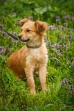 The redheaded homeless dog siting on garden in the village. Royalty Free Stock Photos