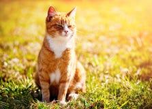 Redheaded Katze auf grünem Gras Stockfotografie