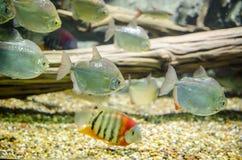 Redheaded Severum. Swimming with silver fish in  aquarium Stock Photo