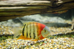 Redheaded Severum. Swimming in a tank stock images