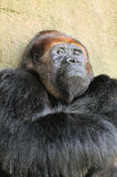 Redheaded Silverback Royalty Free Stock Photo