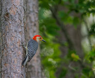 Redheaded Woodpecker Royalty Free Stock Photography