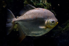 Redhook characin fish close up portrait undrwater Stock Photo