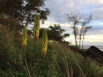 Redhot Poker Kniphofia Plant Blossoming in Waimea on Kauai Island in Hawaii. Royalty Free Stock Images