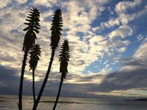 Redhot Poker Kniphofia Plant Blossoming in Waimea on Kauai Island in Hawaii. Royalty Free Stock Photography