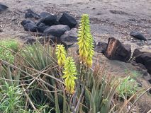 Redhot Poker Kniphofia Plant Blossoming in Waimea on Kauai Island in Hawaii. Royalty Free Stock Photos