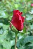 Redi de Rose Imágenes de archivo libres de regalías