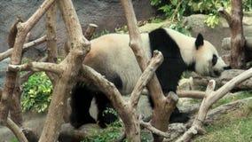 redigera 3 gem, går gör en jätte- panda och bajs i zoo arkivfilmer