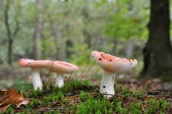 Redish mushrooms in the forest Royalty Free Stock Images