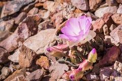 Rediviva Lewisia Bitterroot, цветок государства Монтаны; зацветающ весной в башенках национальном парке, Калифорния стоковые изображения rf