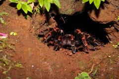 Redknee tarantel i djungeln av Costa Rica Arkivbilder