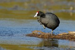 Redknobbed coot Stock Image