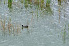 REDKNOBBED COOT ON THE WATER. Redknobbed coot swimming on water in dam between reeds Royalty Free Stock Images