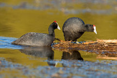 Redknobbed coots Royalty Free Stock Photography