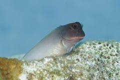 Redlip-Blenny - Bonaire, niederländische Antillen Lizenzfreie Stockfotos
