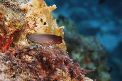 Redlip Blenny (Ophioblennius macclurei). Perched on coral reef, Bonaire, Netherlands Antilles Stock Image