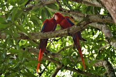 Redmacaws som daltar i förorterna av Manuel Antonio, Costa Rica arkivfoton