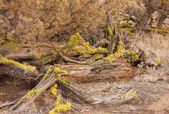 Broken Juniper tree in late afternoon. Redmond Oregon tree remnant in late late afternoon royalty free stock image