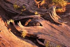 Dead Juniper tree in late afternoon. Redmond Oregon tree remnant in late late afternoon royalty free stock photo