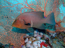 redmouth grouper Стоковые Изображения