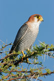 Rednecked falcon Stock Photos