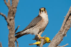 Rednecked falcon with its yellow canary prey. Rare raptor, restricted to Southern Africa Stock Photos
