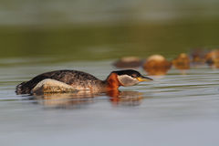 Rednecked Grebe Stock Photo