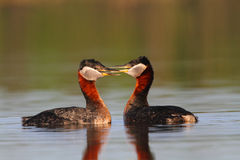 Rednecked Grebes Royalty Free Stock Images