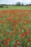Redness of beautiful poppy`s field. Vertical view Stock Photo