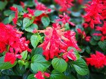 Rednflower Στοκ φωτογραφίες με δικαίωμα ελεύθερης χρήσης