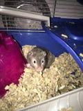 Średni szczur Obrazy Royalty Free