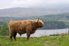 Średniogórza Szkocja byk Fotografia Royalty Free