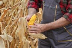 Średniorolna egzamininuje kukurydzana uprawa w polu Zdjęcie Stock