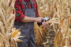 Średniorolna egzamininuje kukurydzana uprawa w polu Zdjęcia Royalty Free