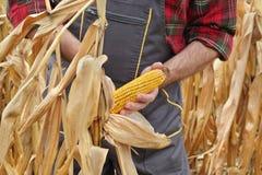 Średniorolna egzamininuje kukurydzana uprawa w polu Obrazy Royalty Free