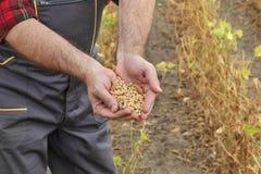 Średniorolna egzamininuje soi bobowa uprawa w polu Fotografia Royalty Free